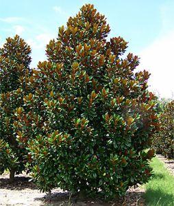 brackens-brown-beauty-magnolia-sts.jpg