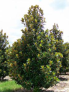 brackens-brown-beauty-magnolia-sts-2.jpg