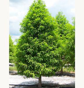 bald-cypress-sts.jpg