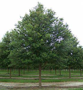 live-oak-sts.jpg