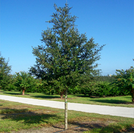 buy live oak trees