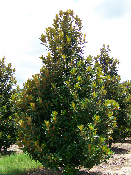 Bracken S Brown Beauty Magnolia Stewarts Tree Services Inc